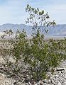 Creosote-bush Larrea tridentata.jpg