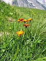Crepis aurea01.jpg
