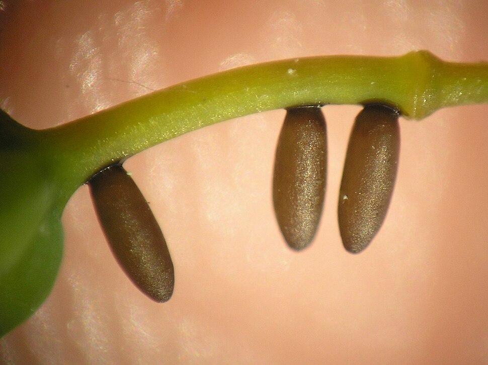 Crioceris asparagi 4 beentree