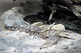 Crocodylus johnsoni.JPG