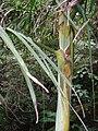 Cryphaea ovalifolia (C.Mull.) Jaeg. (AM AK299197-3).jpg