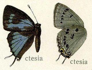 <i>Ancema ctesia</i> species of insect