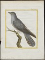 Cuculus canorus - 1700-1880 - Print - Iconographia Zoologica - Special Collections University of Amsterdam - UBA01 IZ18800219.tif