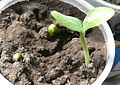 """Cucurbita pepo """"zapallo de Angola"""" semillería La Paulita - Desarrollo 1 - plántula con 2 cotiledones.jpg"""