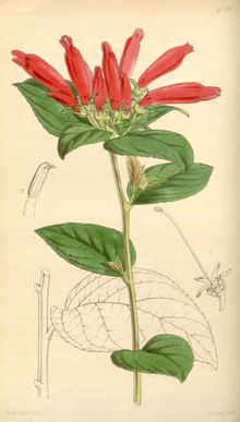 Curtis's Botanical Magazine, Plate 4286 (Volume 73, 1847).png