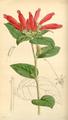 Curtis's Botanical Magazine, Plate 4286 (Volume 73, 1847).png