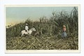 Cutting Cane, Sugar Industry, Cuba (NYPL b12647398-67658).tiff