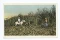 Cutting Cane, Sugar Industry, Cuba (NYPL b12647398-67658).tiff