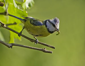 Tit (bird) - Blue tit with prey item