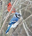 Cyanocitta cristata (blue jay) & Cardinalis cardinalis (northern cardinal) (Newark, Ohio, USA).jpg