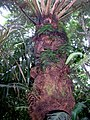 Cyathea tree fern Lord Howe Island with other ferns.jpg