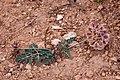 Cymopterus multinervatus - Flickr - aspidoscelis (2).jpg