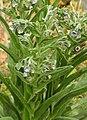 Cynoglossum creticum RF.jpg