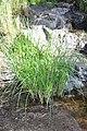 Cyperus longus 6.jpg