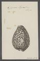 Cypraea tigrina - - Print - Iconographia Zoologica - Special Collections University of Amsterdam - UBAINV0274 088 02 0039.tif