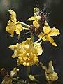 Cyrtopodium cristatum - fl.jpg