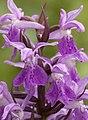 Dactylorhiza praetermissa subsp. osiliensis5.jpg