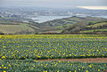 Daffodil field at Tregantle and Plymouth.jpg