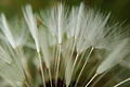 Dandelion Flower (Easy-Macro).jpeg