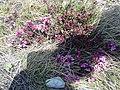 Daphne cneorum (Thymelaeaceae) 04.jpg