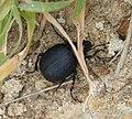 Darkling Beetle. Pimelia species. Tenebrionidae (31613349033).jpg