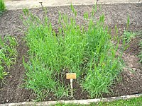 Dasypyrum villosum - Berlin Botanical Garden - IMG 8559.JPG