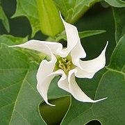 Datura stramonium white flower.jpg