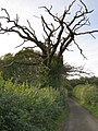 Dead oak on Lovington Lane - geograph.org.uk - 271140.jpg