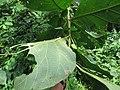 Death's-head hawkmoth on the leaves of Tectona grandis leaves at Mayyil (9).jpg