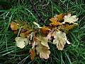 Decaying leaves, Omagh - geograph.org.uk - 985808.jpg