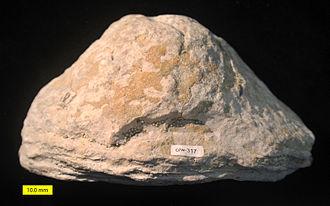 Stromatoporoidea - Image: Densastroma pexisum