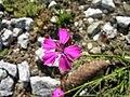 Dianthus carthusianorum 1.jpg