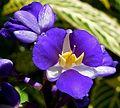 Dichorisandra thyrsiflora 4.jpg