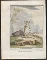 Didelphis murina - 1700-1880 - Print - Iconographia Zoologica - Special Collections University of Amsterdam - UBA01 IZ20300114.tif