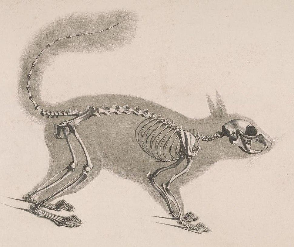 Die vergleichende Osteologie (1821) Sciurus vulgaris