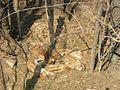 Dikie porosyata v ohotnichem hozyaistve Chernyshkovskogo raiona Volgogradskoi oblasti 1.JPG