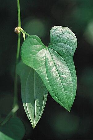 Chinese yam - Dioscorea polystachya, Chinese yam
