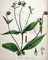 Dipsacus pilosus — Flora Batava — Volume v19.jpg