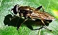 Diptera Xylota segnis (2750672501).jpg