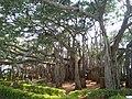 Dodda Alada Mara banyan 7.jpg