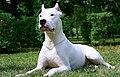 Dogo argentino 4.jpg
