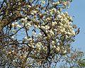 Dombeya rotundifolia, bloeityd, Moreletakloof NR, d.jpg