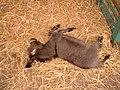 Donkey-Foal.jpg
