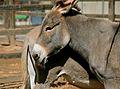 Donkey (4536639639).jpg
