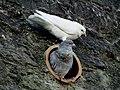 Doves in and on a Pipe.jpg