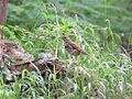 Drozd pevač u travi.jpg
