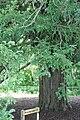 Dryburgh Abbey yew tree (geograph 2368968).jpg