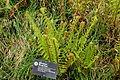 Dryopteris carthusiana - Morris Arboretum - DSC00205.JPG