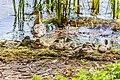 Duck (44200801971).jpg