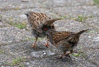 Dunnock - Male dunnock pecking cloaca of female before mating